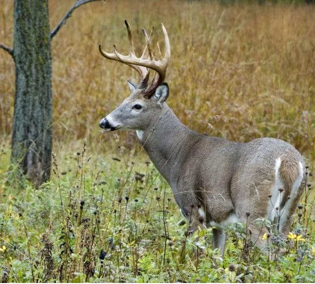 whitetail buck, deer hunting, buck hunting